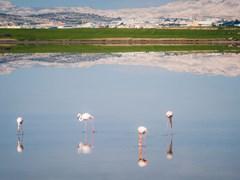 Фламинго. Соленое озеро. Ларнака